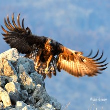Wildlife Photography Session in Bulgaria, to Vultures and Eagles - self guided