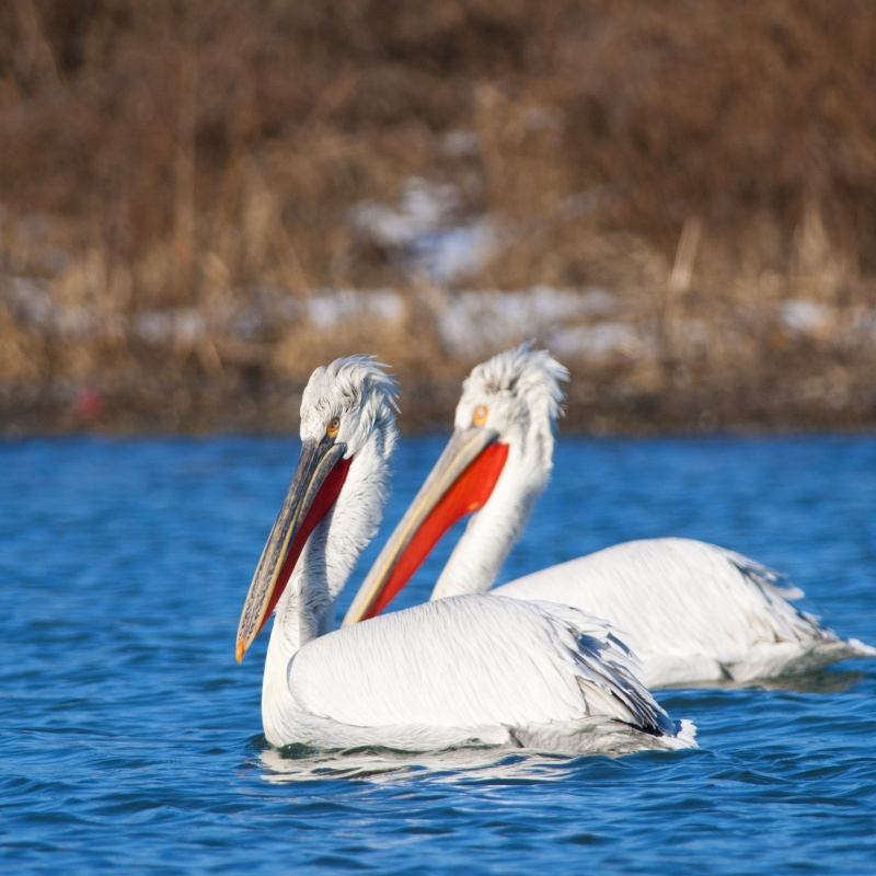 Birdwatching Tour 7d/6n, Danube Delta + Dobruja - Private