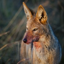 Wildlife Photography Session in Bulgaria, to Jackals and Buzzards - self guided