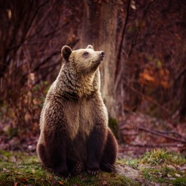 Bears of Transylvania 4n/3 Photo Tour - Group  2019